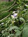 Starr-090521-8319-Solanum americanum-leaves and flowers-Polipoli-Maui (24588657529).jpg
