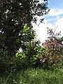 Starr-090617-0828-Sandoricum koetjape-habit-Ulumalu Haiku-Maui (24867358061).jpg