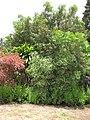 Starr-090720-3074-Polyscias guilfoylei-habit-Waiehu-Maui (24852209792).jpg
