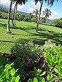 Starr-091104-0745-Achyranthes splendens var splendens-habit-Kahanu Gardens NTBG Kaeleku Hana-Maui (24894213891).jpg