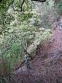 Starr-091115-1160-Aleurites moluccana-habit with Forest-Olinda-Maui (24363121443).jpg