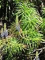 Starr-100908-4231-Lobelia grayana-flowering habit with juvenile iiwi sipping nectar-Bird Loop Waikamoi-Maui (24756498780).jpg