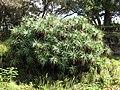 Starr-110307-2017-Aloe arborescens-habit-Kula Botanical Garden-Maui (24450566623).jpg