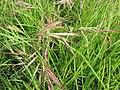 Starr-110628-6351-Bromus diandrus-seedheads-Kula-Maui (24470567003).jpg