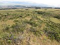 Starr-110705-6567-Erica lusitanica-habitat and search area-Waiale Gulch-Maui (24979764382).jpg