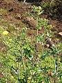 Starr-111129-1554-Argemone mexicana-flowering habit in fill-Polipoli-Maui (25094253476).jpg
