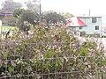 Starr-120305-3540-Roldana petasitis-seedheads-Kula-Maui (25019190662).jpg