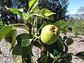 Starr-130201-1601-Pyrus communis-var Hood immature fruit-Hawea Pl Olinda-Maui (25111949381).jpg