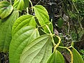 Starr-130312-2428-Piper nigrum-leaves and flower spikes-Pali o Waipio Huelo-Maui (25181000846).jpg