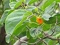 Starr-130318-2710-Cordia subcordata-flower and leaves-Kilauea Pt NWR-Kauai (25114648691).jpg