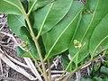Starr-130319-1836-Cupaniopsis anacardioides-leaves and flowers-Kilauea Pt NWR-Kauai (24577507204).jpg