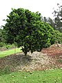 Starr-150301-0353-Citrus sinensis-Washington navel flowering habit-Hawea Pl Olinda-Maui (25265160135).jpg