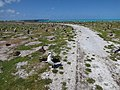 Starr-150328-0925-Coronopus didymus-cart path with Black Footed and Laysan Albatrosses-Northeast Coast Eastern Island-Midway Atoll (24642713353).jpg