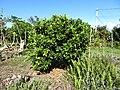 Starr-170923-0253-Citrus sinensis-Cara Cara Navel flowering habit some immature fruit-Hawea Pl Olinda-Maui - Flickr - Starr Environmental.jpg