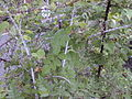 Starr 001117-0054 Rubus niveus f. a.jpg