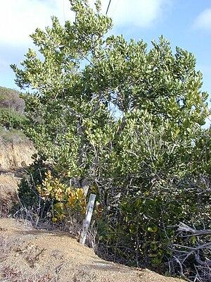 Francisco Noronha - Noronhia emarginata Madagascar olive