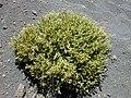 Starr 010807-0017 Silene struthioloides.jpg