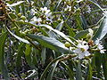 Starr 030202-0083 Myoporum sandwicense.jpg