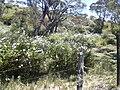 Starr 030702-0086 Plumbago auriculata.jpg