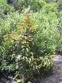 Starr 040731-0043 Xylosma hawaiiense.jpg