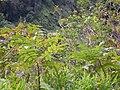 Starr 050107-2929 Rhus sandwicensis.jpg