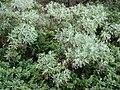 Starr 070208-4348 Artemisia australis.jpg