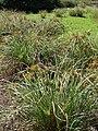 Starr 070413-6932 Cyperus javanicus.jpg