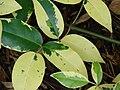 Starr 070906-8623 Pandorea jasminoides.jpg