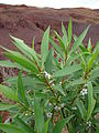 Starr 080209-2648 Myoporum sandwicense.jpg