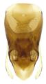 Stenichnus collaris (Mueller & Kunze, 1822) Genital.png