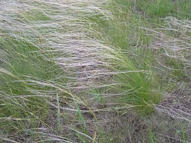 Stipa lessingiana habitus.jpg