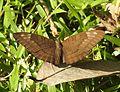 Streaked Baron Euthalia alpheda jama by Dr. Raju Kasambe DSCN2397 (11).jpg