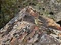 Sulphur-bellied Warbler (Phylloscopus griseolus) (34973079324).jpg