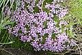 Summer starwort Erinus alpinus (4805906667).jpg