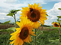 Sunflower 02.jpg