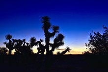 Sunrise at Arthur B. Ripley Desert Woodland State Park. Joshua Trees and  Junipers are silhouetted against the sun. 167d1eb7b34b