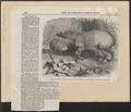 Sus babirussa - 1860 - Print - Iconographia Zoologica - Special Collections University of Amsterdam - UBA01 IZ21900193.tif