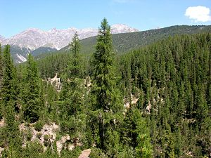 Biodiversity - A conifer forest in the Swiss Alps (National Park)