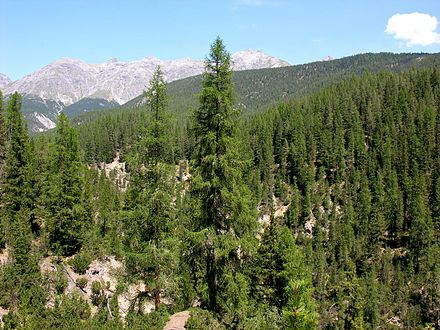 A conifer forest in the Swiss Alps (National Park) Swiss National Park 131.JPG