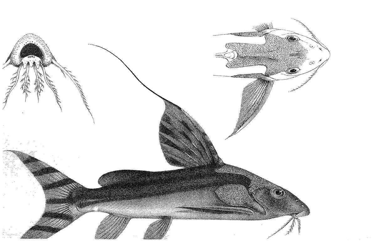 Synodontis decorus - Wikipedia