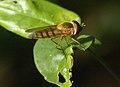 Syrphidae Wyn2.jpg