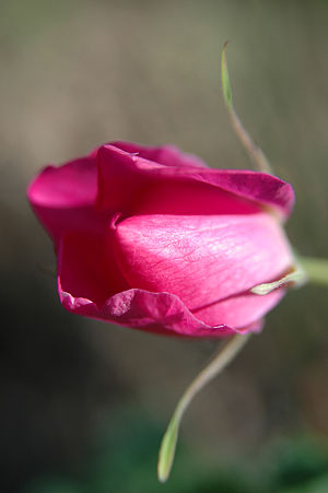 Rosa acicularis - Image: TH prickly wild rose