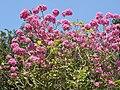 Tabebuia impetiginosa-2-cubbon park-bangalore-India.jpg