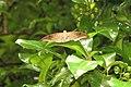 Tanaecia lepidea - Grey Count at Madayipara 2014 (2).jpg