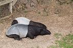 Tapirus indicus (Tapir de Malaisie) - 450.jpg