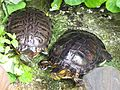 Tartarugas de Jardim.jpg