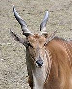 Taurotragus oryx qtl2