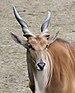 Taurotragus oryx qtl2.jpg