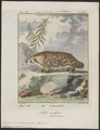 Taxidea americana - 1700-1880 - Print - Iconographia Zoologica - Special Collections University of Amsterdam - UBA01 IZ22500179.tif