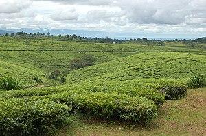 Tukuyu - Tea fields at Kyimbila near Tukuyu Town